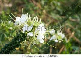 Cleome Flower - cleome stock images royalty free images u0026 vectors shutterstock