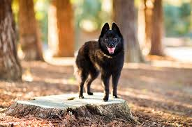 belgian shepherd how much schipperke dog breed information pictures characteristics