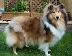 bearded collie brown bearded collie border collie mix dog and cat