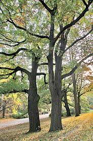 tree guide the official website of central park nyc