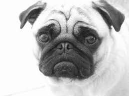 drawing forum and art community u2022 view topic pug dog in pencil