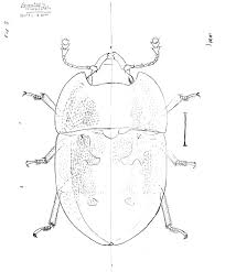 scientific illustration of insects according to joe macgown