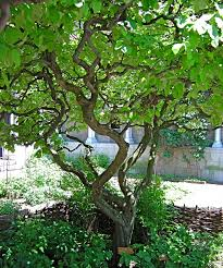 garden design garden design with pruning a weeping cherry tree