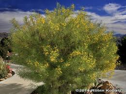 native plants in the desert plant of the month u2013 january the power of plants