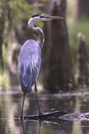 Louisiana birds images Louisiana swamp tours the birds of lake martin jpg