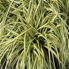 ornamental grass sedge grass the home depot