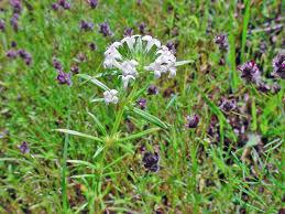 vascular plants of the gila wilderness vascular plants of the gila wilderness crusea diversifolia