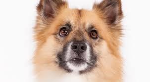 belgian sheepdog jewelry icelandic sheepdog dog breed information american kennel club
