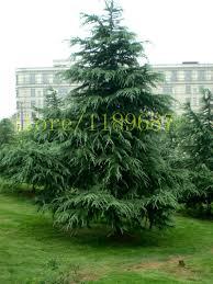 aliexpress com buy 100pcs cedar tree seeds evergreen forest seed