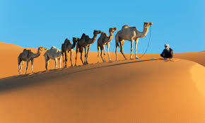how long can a camel go without water howstuffworks