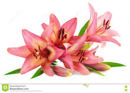 Pink Lily Flower Pink Lily Flower Isolated On White Background Stock Photo Image