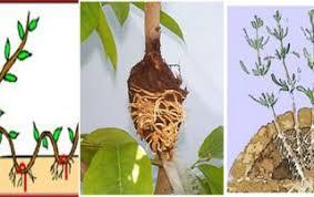 Vegetative Propagation By Roots - vegetative propagation through layering archives