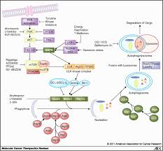 the role of autophagy in cancer therapeutic implications