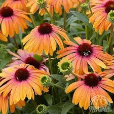 best 25 perennials ideas on pinterest perrenial flowers spring
