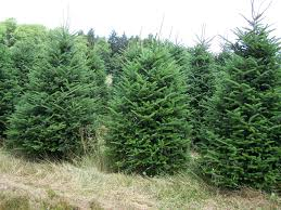 forest view evergreen tree farms christmas trees