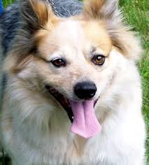 australian shepherd quirks trey an american eskimo australian cattle dog mix