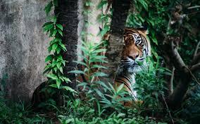 tiger jungle hd wallpaper animals wallpaper better