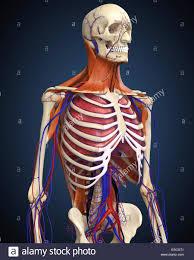 Human Anatomy Upper Body Upper Body Veins Stock Photos U0026 Upper Body Veins Stock Images Alamy