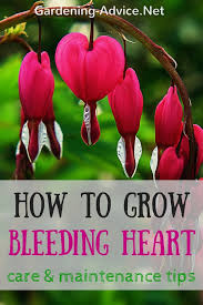 bleeding heart flower the bleeding heart plant