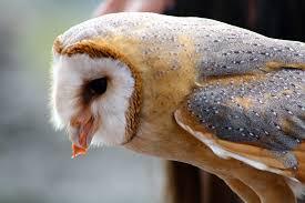 free photo barn owl owl feeding free image on pixabay 738183