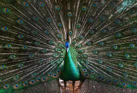 peacock facts for kids peacock habitat u0026 behavior