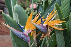bird of paradise flower growing bird of paradise outside how to take care of birds of