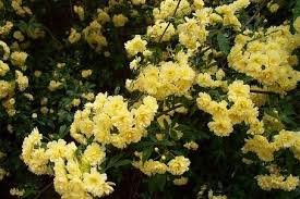 White Roses For Sale Lady Banks Rose Banksiae White And Yellow Lady Banks Climbing