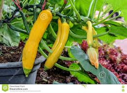 yellow zucchini on a pot in vegetable garden stock image image
