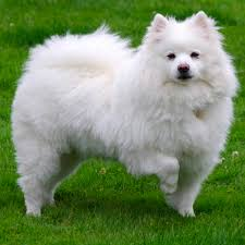 american eskimo dog lion cut 59 best small dog breeds that stay small forever