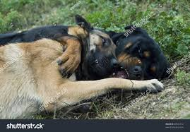 belgian shepherd for sale south africa two dogs playing grass rottweiler belgian stock photo 89541412