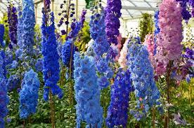 delphinium flowers blue and pink delphinium flowers stock photo montana 53955497