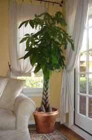 Tall Indoor Plants Low Light Top 25 Best Best Indoor Trees Ideas On Pinterest Indoor Trees