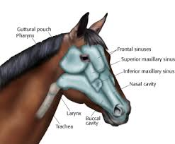 Signs Of Blindness In Horses The Chronicle Of The Horse