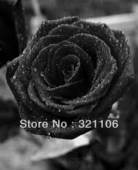 White Roses For Sale Knumathise Real Black Rose Bouquet Images