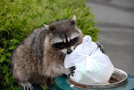 squirrel u0026 raccoon removal services toronto and gta
