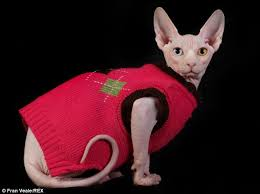 sphynx sweaters sphynx cat with no fur has whole wardrobe of jackets to choose