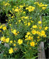 plants native to maryland maryland golden aster