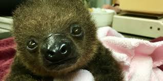 zoo welcomes adorable baby sloth with