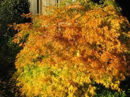 maple tree meaning maple meaning uofo tree symbolism and