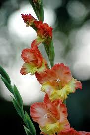 gladiolus flower free photo gladiolus flower colors free image on pixabay