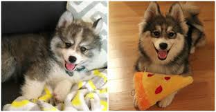 norman the pomeranian husky mix one puppy that will melt your heart