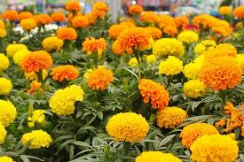 12 Best Annual Flowers For by Annual Flowers Nessralla U0027s Farm Of Marshfield 781 834 2833
