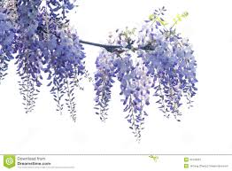 wisteria stock photos images u0026 pictures 3 227 images