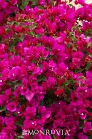 Flowers Information - monrovia u0027s camouflage variegated japanese aralia details and