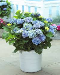 homelife 10 best plants for vertical gardens hydrangea top 10 tips on how to plant grow u0026 care hydrangea