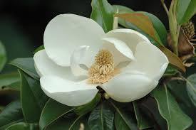the family tree garden center southern magnolia the quintessential southern tree merrifield
