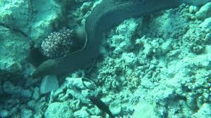 Seeking Eel Moray Eel Seeking Shelter