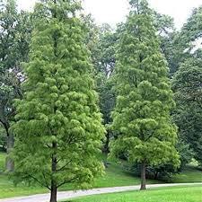 pond cypress trees locate find wholesale plants plantant va home