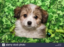 cute fluffy puppy head shot on irish shamrock background stock