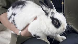 rabbit bunny run two books about mike pence s bunny marlon bundo top